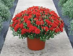 Colorful Fall Mums Blooming Plant