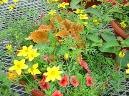Colorful Patio Bowl Mixed Flowering Annuals Flowers