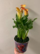 Colour of love  Calla Lily