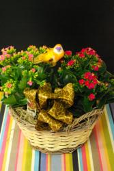 Colourful Kananchoes Kalanchoe Plants