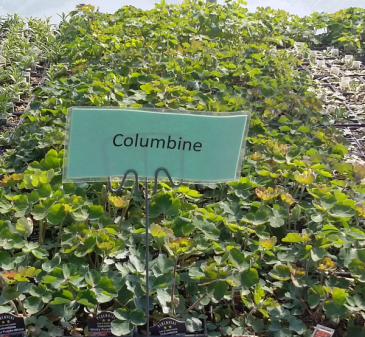 Columbine Perennial - Full sun - light shade