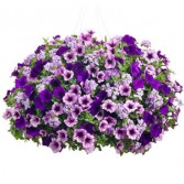 COMBINATION  PETUNIA HANGING BASKET
