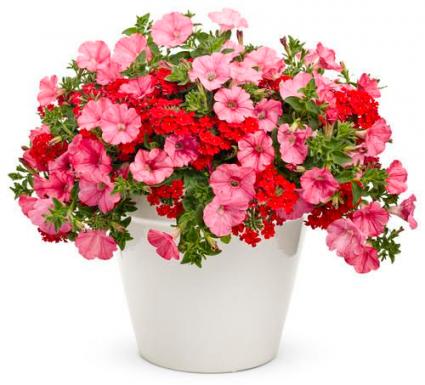 Combo Pot- Mixed Petunia and Verbena  Greenhouse
