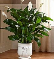 Comfoft Peace Lily (Large)