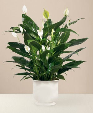 Comfort Peace Lily Planter  in Auburn, AL | AUBURN FLOWERS & GIFTS