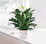 Comfort Peace Lily (Small)
