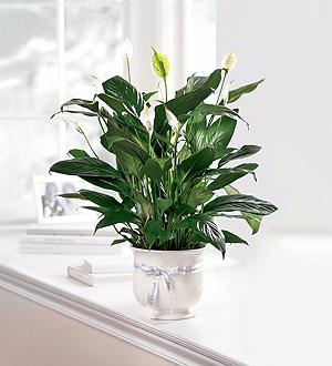 Comfort Plant Plant