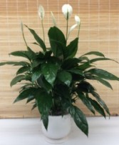 Comfort Planter peace lily plant