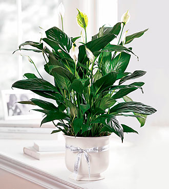 Comfort Planter Peace Lilly