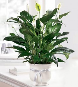 Comfort Planter Plant Peace Lilly in Bryan, OH | Farrell's Lawn & Garden and Flowers