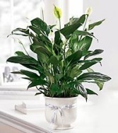 COMFORT PLANTER Serene Beauty of a Peace Lily Plant in Ceramic Planter