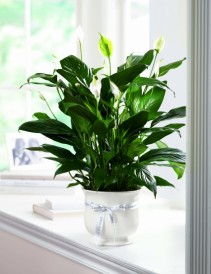 Comfort Planter Graceful  Peace Lily in Comfort Container