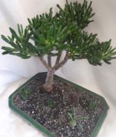 Cora Crassula Bonsai Plant
