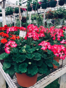 Coral Geranium Annual Planter Greenhouse Annual
