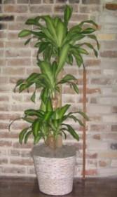 Corn Plant - Dracaena Foliage Plants