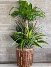 Corn Plant