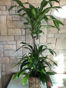 CORN PLANT WITH MIX OF GREEN PLANTS 4 FOOT TALL