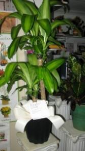 Corn Plant Dracaena fragrans massangeana