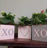Love xo Plant