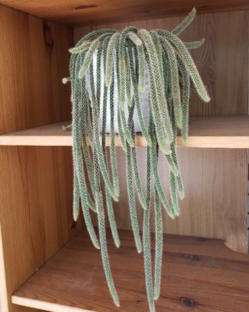 Covid Cactus Plant