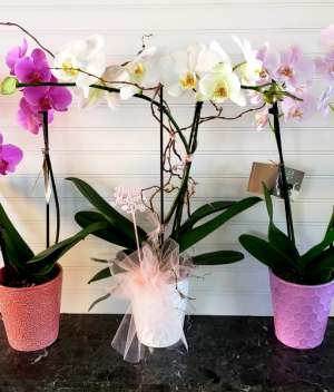 Craig's Orchid Plant Exclusively at Mom & Pops in Ventura, CA | Mom And Pop Flower Shop