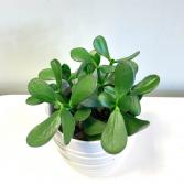 Crassula Ovata 'Jade Plant' Pick-up Only