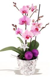 CHRISTMAS ORCHID  PLANT