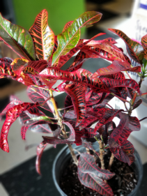 """Croton - 10"""" pot House Plant - Currently In Stock"""