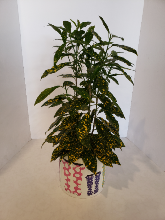 Croton Gold Dust  Plant