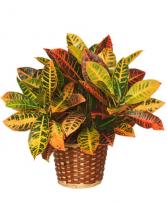 Croton  Green plant