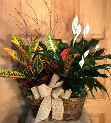Croton & Peace Lily Duo