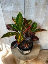 Croton Petra Plant in Ceramic pot