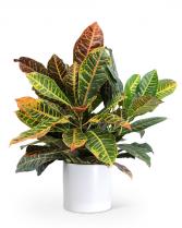 Croton Petra Plant Plant