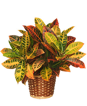 CROTON PLANT BASKET  Codiaeum variegatum pictum  in Plainview, TX | Kan Del's Floral, Candles & Gifts
