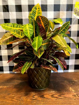 Croton Plant Basket Plant