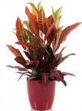 Croton Plant in a designer container Plant
