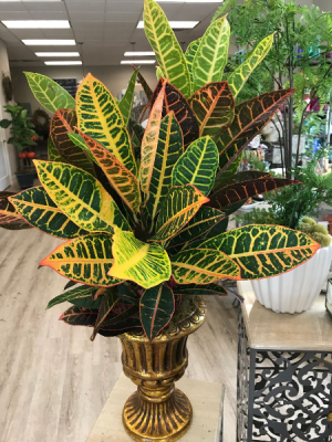 Croton Plant in Footed Container  in Hermitage, TN | IN FULL BLOOM FLOWERS + GIFTS