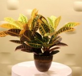 Croton Plant Potted