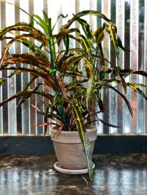 Croton Zanzibar Tip  Plant