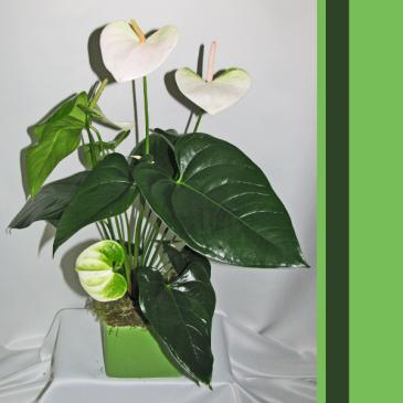 Cubed Antherium Plant