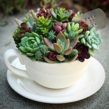 Cup of Succulents Next day delivery