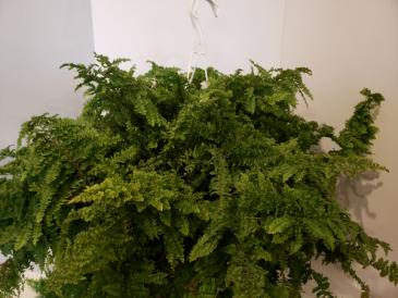 Curly boston fern Plant