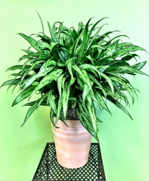 Chinese Evergreen (Aglaonema) Deluxe Container in Galveston, TX | J. MAISEL'S MAINLAND FLORAL
