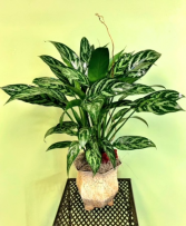 Chinese Evergreen Plant Arrangement
