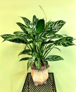 Chinese Evergreen Plant Arrangement in Galveston, TX | J. MAISEL'S MAINLAND FLORAL