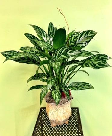 Chinese Evergreen Plant Arrangement