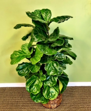 Fiddle Leaf Fig (Lyrata)  Floor Plant in Galveston, TX | J. MAISEL'S MAINLAND FLORAL