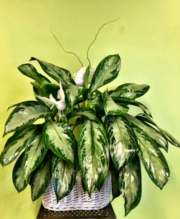 Chinese Evergreen Memorial/Sympathy Planter with Doves