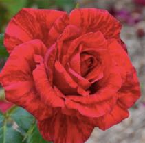 Custom Roses Valentine