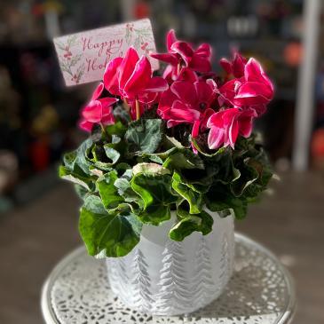 Cyclamen Blooming Houseplant